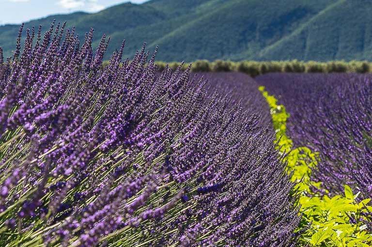 Bonne Étape Lavender Experience